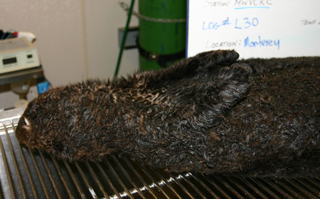 The anesthetized oiled sea otter is lying on its back before being washed. Photo: Sharon Toy-Choutka