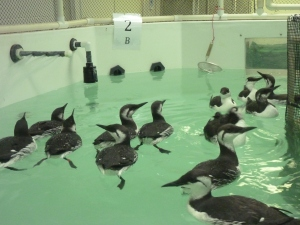 Murres waiting for a fish toss at the UC Davis research pools.