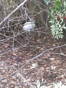Our wily bunny friend stays just out of reach under some branch cover.
