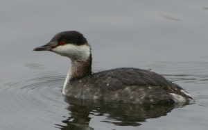 Horned Grebes have also been affected during this event.  Photo Credit: user:Calibas - Own work. Licensed under Public Domain via Wikimedia Commons - http://commons.wikimedia.org/wiki/File:Horned_Grebe.jpg#mediaviewer/File:Horned_Grebe.jpg