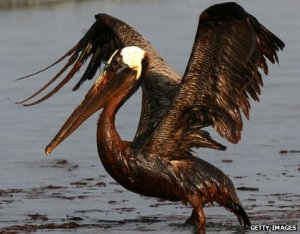 Oiled Brown Pelican during the Deepwater Horizon Oil Spill, 2010.