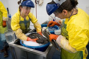 uc-davis-pelican-getting-cleaned-after-oil-spill