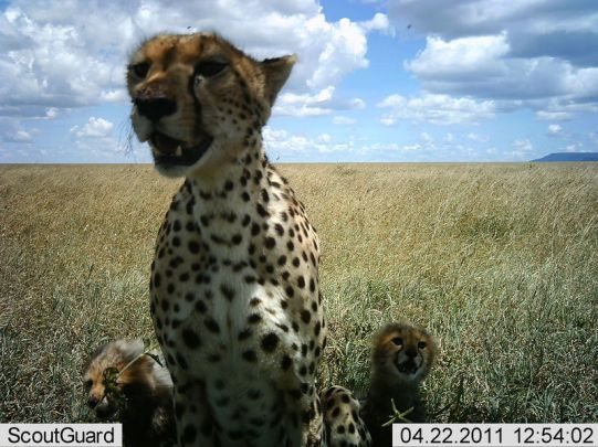 slp-cheetah-with-cubs