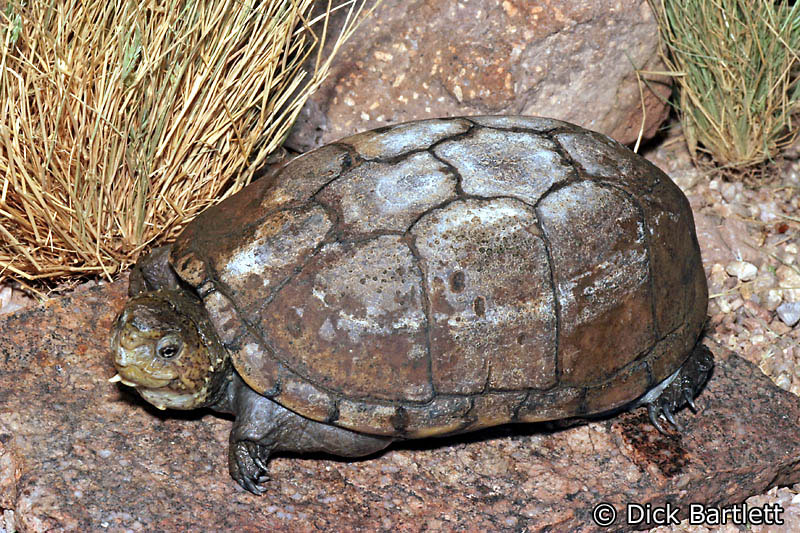 desert-mud-turtle